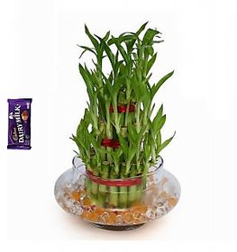 3 Layer Lucky Bamboo Plant with pot (BIG)