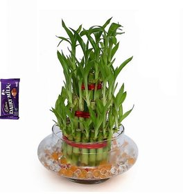 3 Layer Lucky Bamboo Best Quality with Pot