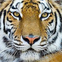 Wall Close Up Tiger