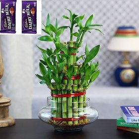 3 Layer Lucky Bamboo Plant Big with Pot