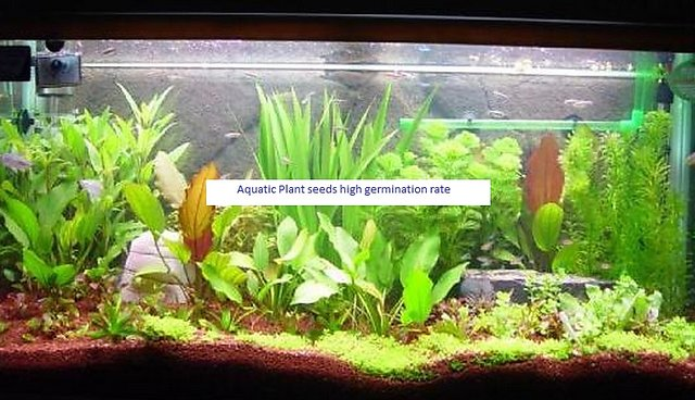 Seeds-Aquarium Plant 30 /Bag,Free 3 Different Bonsai As Gift