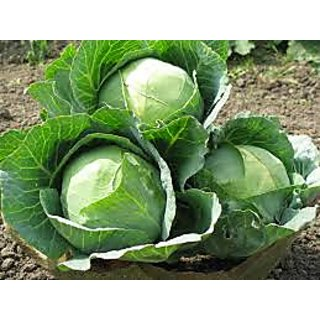 Seeds-Cabbage Pack Of 50 Pcs