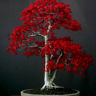 Seeds-4Types Bonsai Tree ,Red Maple Tree+Orchid+Rare Rose+Chinese Elm(Each 10Pcs)
