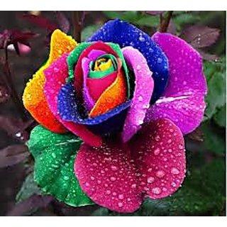 Rainbow rose bonsai (More than 30 Pcs)
