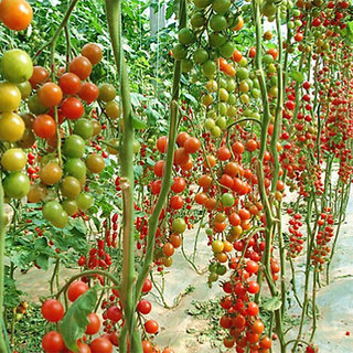 Seeds-10X Sweet Tomato Nutritious Fruits Vegetables Organic Fresh