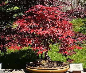 Seeds-Japanese Red Maple Acer Palmatum Bonsai Tree