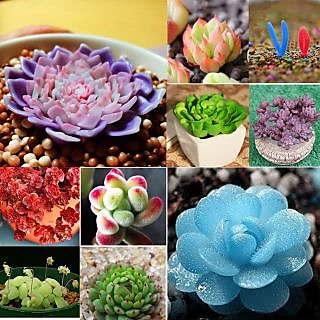 Seeds-Succulents Mixed 60 Rare Mini Potted Flower Home Office Decorative