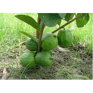 Seeds-Rare Little Dwarf Guava Fresh , Free Shipping, High Yielding Variety