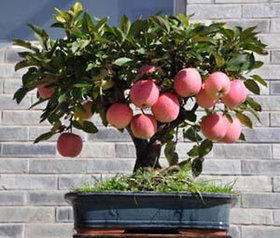 Seeds-Bonsai Mini Apple Bonsai Tree Home Grow Exotic Plant