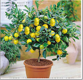 Seeds-Bonsai Lemon Tree Indoor Outdoor Heirloom Edible Fruit Garden