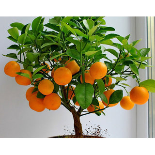 Seeds-Orange Bonsai Tree Citrus