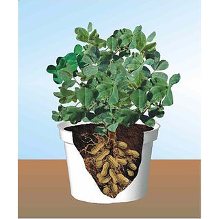 Seeds-Peanut Plant Works Indoor And Outdoor