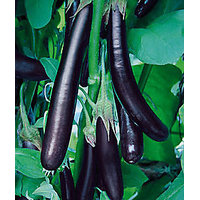 Seeds-Brinjal Long Purple Mukta Jhuri Eggplant Hybrid F1 Vegetable 40