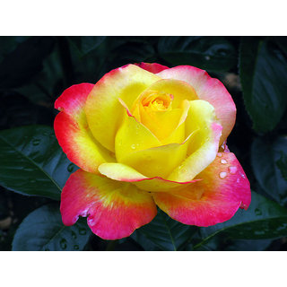 Seeds Love And Peace Rose Flower