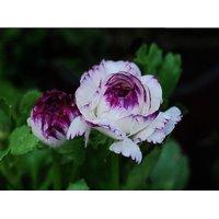 Seeds-Persian Rose Bush Rare Flower
