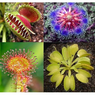 Seeds-Flytrap Dionaea Muscipula , Rare Carnivorous Plant 4 Different Type.