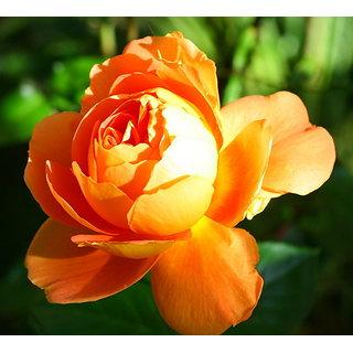 Seeds Rare Golden Rose Flower