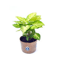 Nurturing Green Syngonium Lime & Lemon