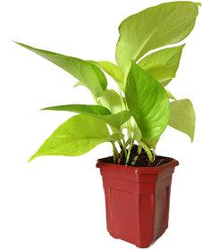 Rolling Nature Good Luck Golden Money Plant in Maroon Hexa Pot