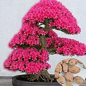 Seeds- Of Bonsai Tree Japanese Sakura Flower Cherry Blossoms Plants Home