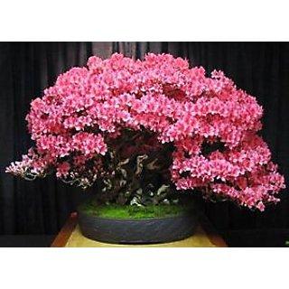 Seeds-Satsuki Azalea Flowering Bonsai