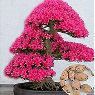 Seeds- Of Bonsai Tree Japanese Sakura Flower Cherry Blossoms Plants Home