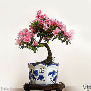 Buy Seeds Pink Azaleas Rhododendron Schlippenbachii Royal Bonsai