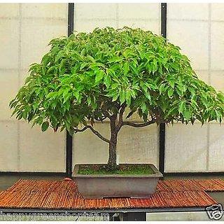 Seeds-Camphor Tree - Camphorwood - Cinnamomum Camphora - Bonsai - Tree