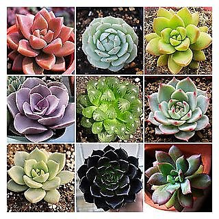 Seeds-20 Rare Mixed Succulents Flower Organic