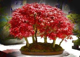 Seeds-Bonsai Tree Beautiful Imported Japanese Red Maple Bonsai Tree