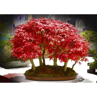 Seeds-Bonsai Tree Beautiful Imported Japanese Red Maple Bonsai Tree