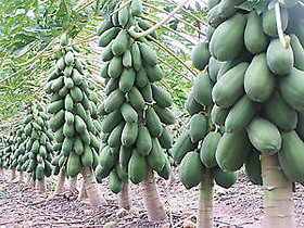 Seeds-Papaya - Dwarf Variety Huge Production Hybrid Seed
