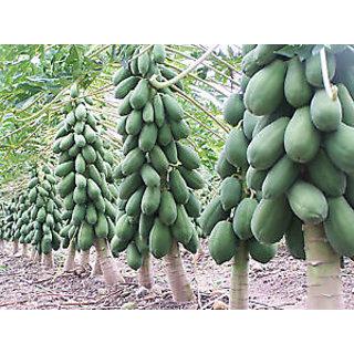 Seeds-Papaya - Dwarf Variety Huge Production Hybrid Seed