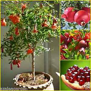 Seeds-Dwarf Sweet Pomegranate Fruit Tree - Punica Granatum