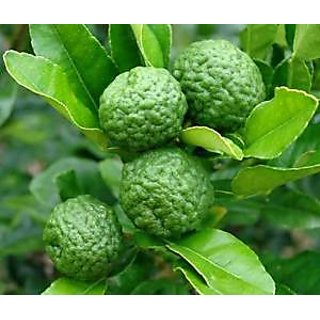 Seeds-Kaffir Lime, Plant Rare Medical Plant