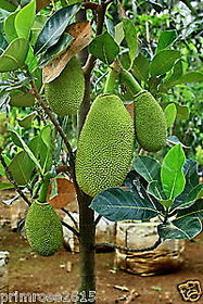 Dwarf Variety JackFruit (Jaca) Healthy Live Plants,free shipping,high yielding