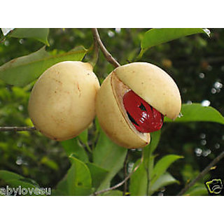 Nutmeg Highly Productive Live Plant