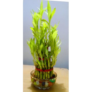 3 Layer Lucky Bamboo Plant With Glass bowl