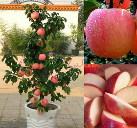Seeds-Dwarf Fuji Apple Tree Indoor Or Outdoor! Sweet Fruits .