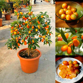 bonsai Kumquat Nagami(Fortunella margarita) Grow in Pots