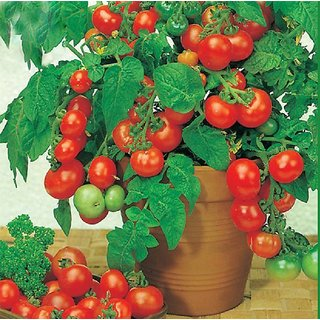 Seeds-Total 15 ,Beautiful Cherry Tomato Bonsai Tree