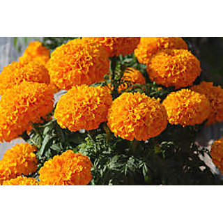 Seeds-Marigold - Orange