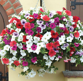 Seeds-Petunia Mix Flower Pack Of 50