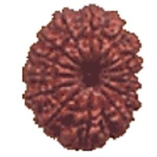 14 Mukhi Rudraksh By Pandit NM Shrimali
