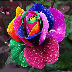 Seeds-5 Rare Beautiful Rainbow Rose - Multicolor Rose - High Quality