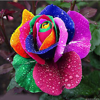 Seeds-5 Rare Beautiful Rainbow Rose - Multicolor Rose - High Quality