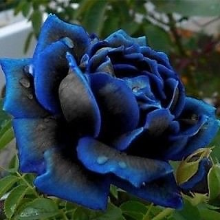 Seeds-Blue Rose Charming Bush Midnight Supreme Rare Garden