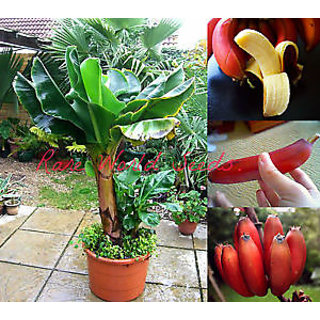 Seeds-Dwarf Beautiful And Delicious Red Banana Small Tree Musa Dwarf Red