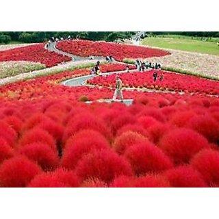 Seeds-Flower - Grass Burning Bush Kochia Scoparia Red Flower