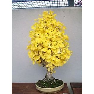 Buy Seeds Bonsai Seed Ginkgo Biloba Gingko Maidenhair Tree Online Get 5 Off